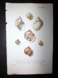 Jeffreys 1869 Antique Hand Col Shell Print. Natica 78